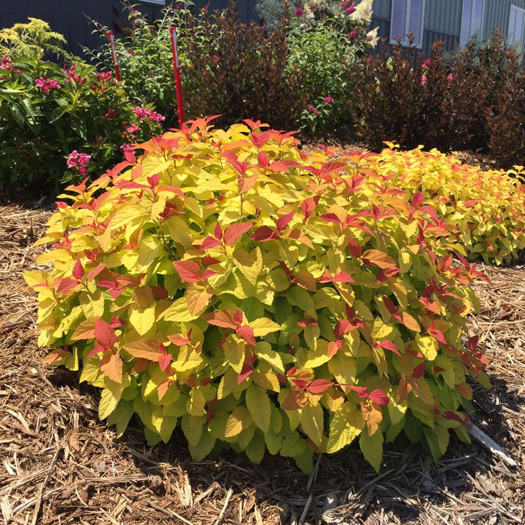 Spirea Candy Corn; Credit Proven Winners